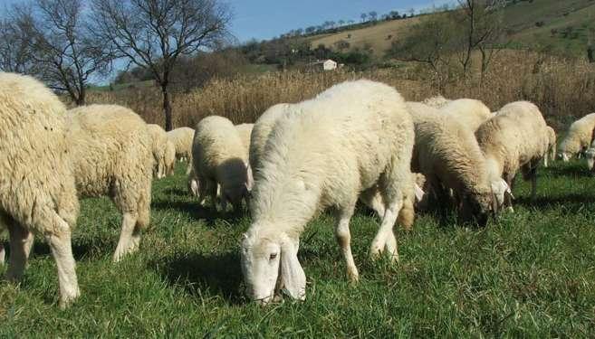allevamento-ovini-1
