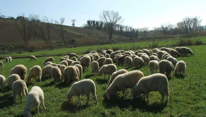 allevamento-ovini-3